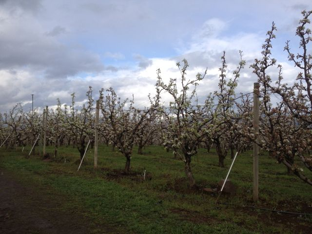 Glory Orchards