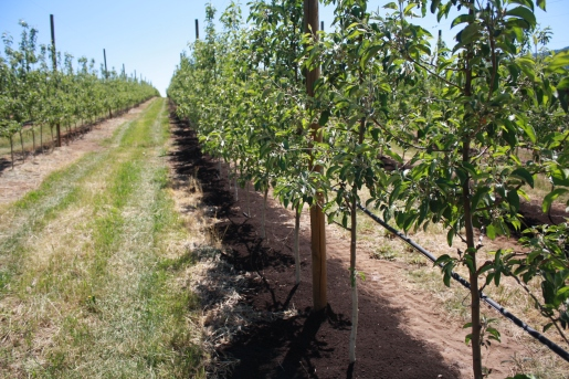 orchard row treated and untreated